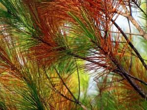 pine-65769_640