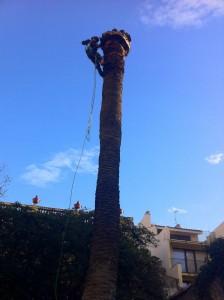 Poda Girona - Tala Palmera 2