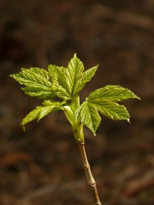 norway-maple-54260_640