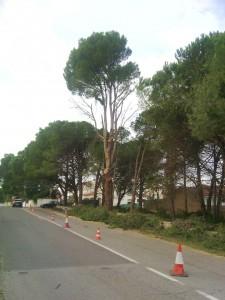 Poda Girona - Tala pi l'Escala
