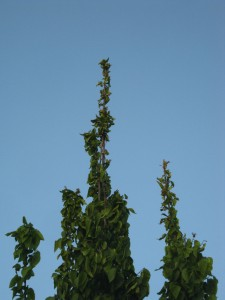 Carpinus betulus Olot 6