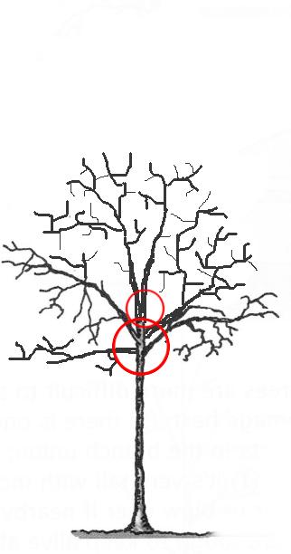 Poda estructural – gestió moderna i econòmica dels arbres