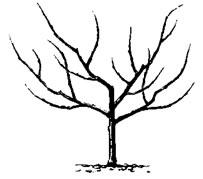 Com podar arbres fruiters