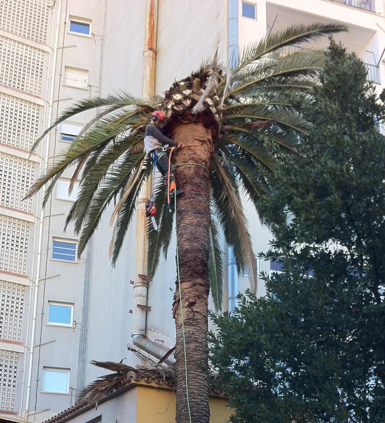 Fotos tala palmera gran